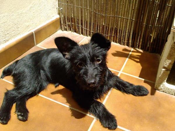 Daffy, encantadora miniperrita,5-6 meses Daffy610