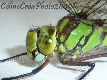 oeil de libellule P1020212