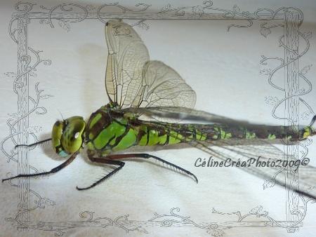 oeil de libellule P1020213