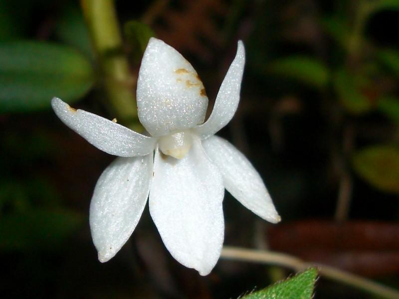 orchidees reunion Cimg0026