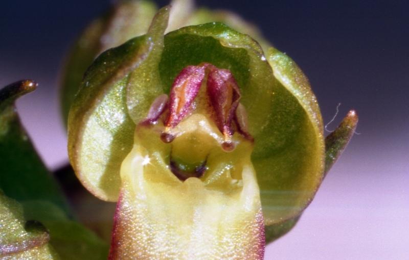 coeloglossum viride Coelog11