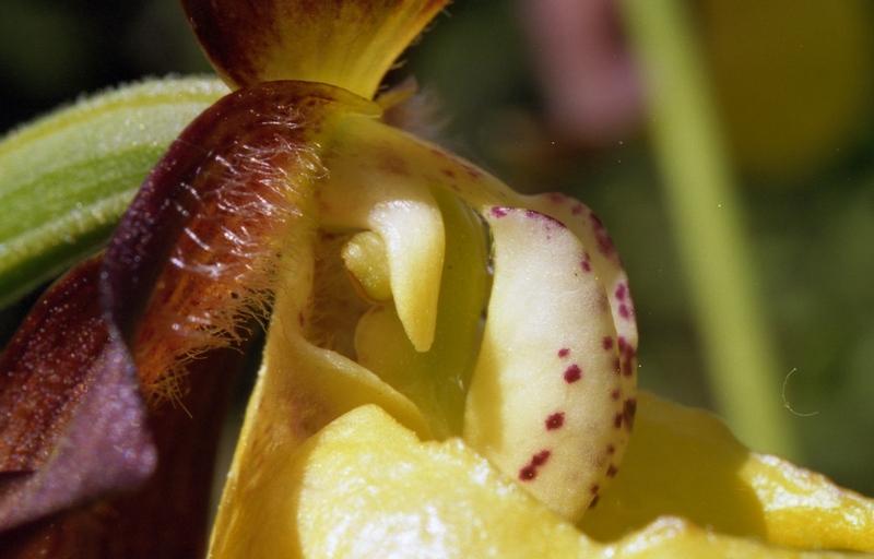 Cypripedium (s) Cyprip11
