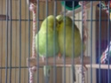 Histoire d\'une perruche perdue ou le prix de la liberté Dsc03910