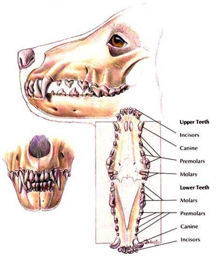 Dentition Normal10