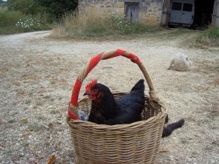 Quelle est l'espérance de vie d'une poule de ferme ? Epsn0110