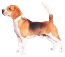 Biglis Beagle10