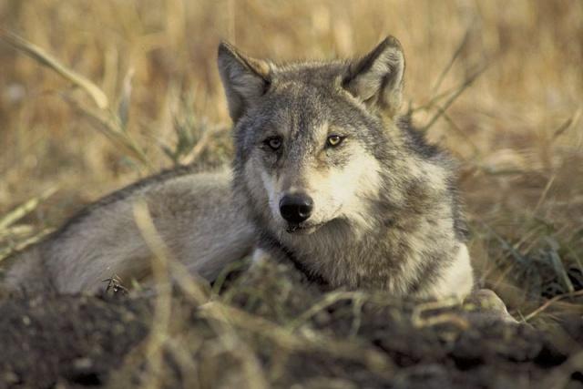Que représentent pour vous les loups ? - Page 2 Loup10