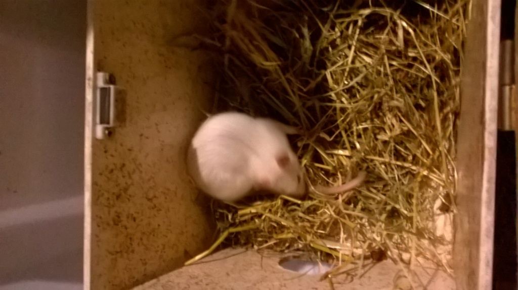 Ma premiere petite Ratte Wp_20110