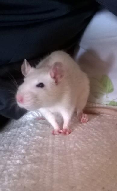 Ma premiere petite Ratte Wp_20115
