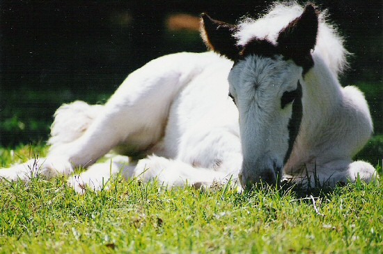 new gypsy foals Horse_11