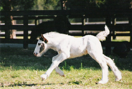 new gypsy foals Rawnie12