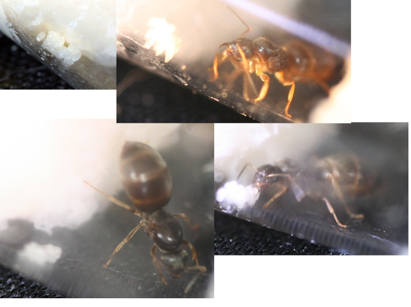 Q+R Gynes Camponotus Novaeboaracensis 2009 - Asyne Montag10