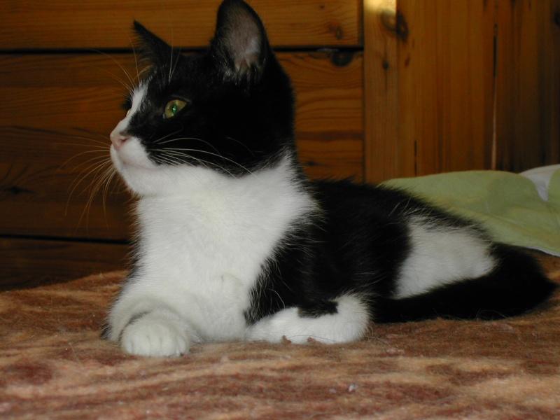 Azaro chaton M noir et blanc(35) Dscn8328