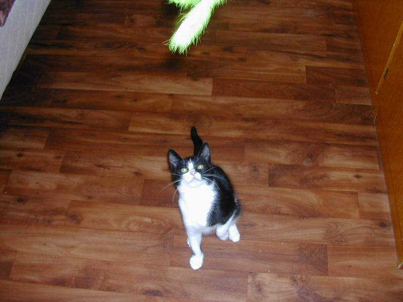 Azaro chaton M noir et blanc(35) Dscn8413