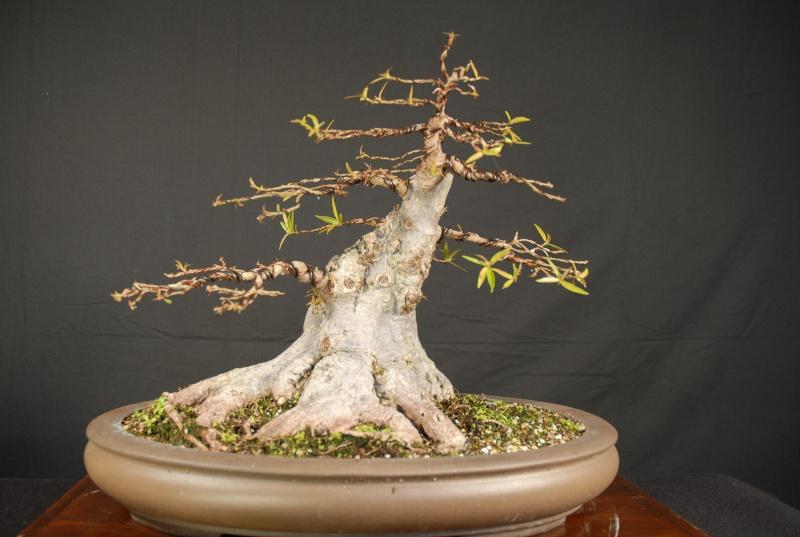 Nerifolia in new pot - Page 2 Dsc_0010