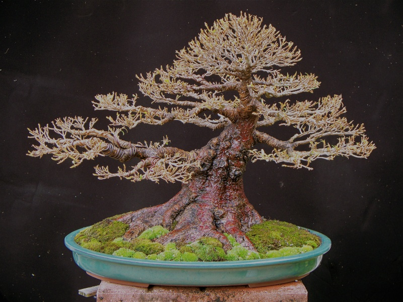 Nerifolia in new pot Nerifo14