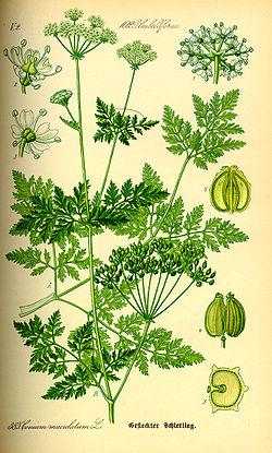 Grande ciguë - Conium maculatum - TRES TOXIQUE 250px-10