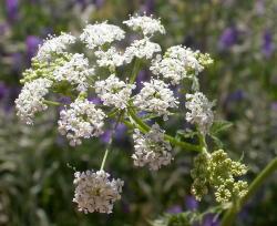 Grande ciguë - Conium maculatum - TRES TOXIQUE Flower10
