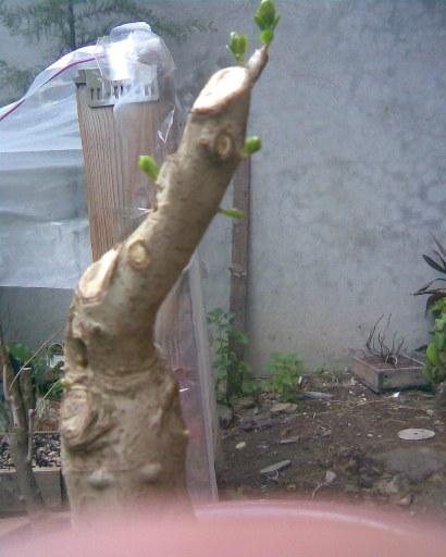 Troene (ligustrum) Cime10