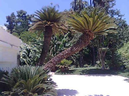 Photo d'arbre Cyca_r13