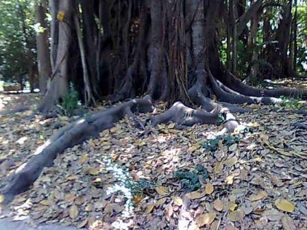 Photo d'arbre Nebari10