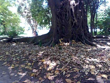 Photo d'arbre Nebari11