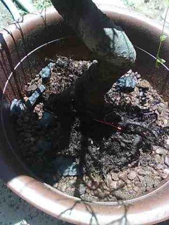 Rempotage d'un orme de chine mal en point Odc710
