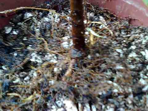 Rempotage bouture  ficus panda Photo033