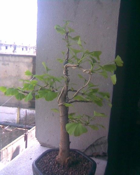 Mon gingko biloba Photo042