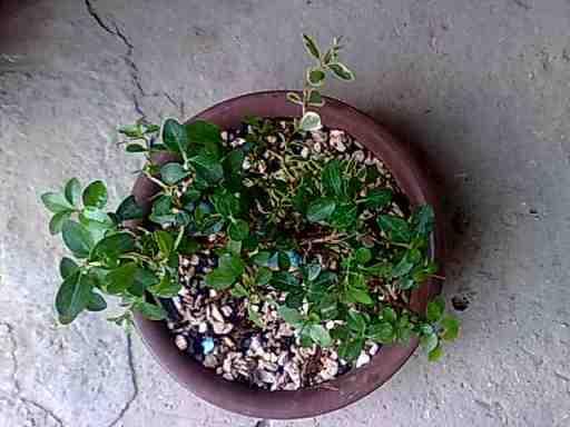 Troene (ligustrum) Photo049