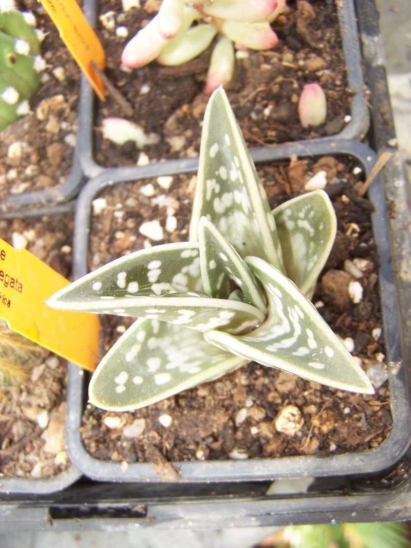 Quelques nouveautées Aloes_12