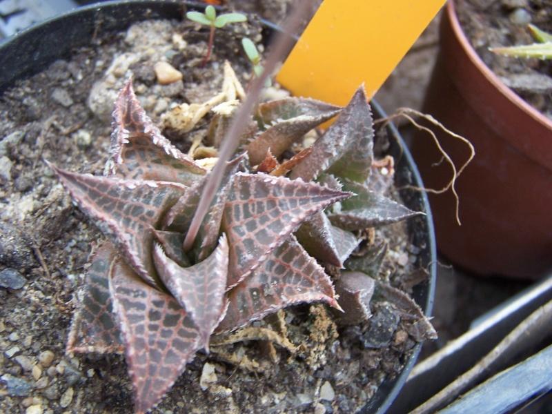Quelques succulentes Hawort13