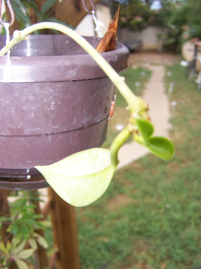 Quelques succulentes Hoya_c10
