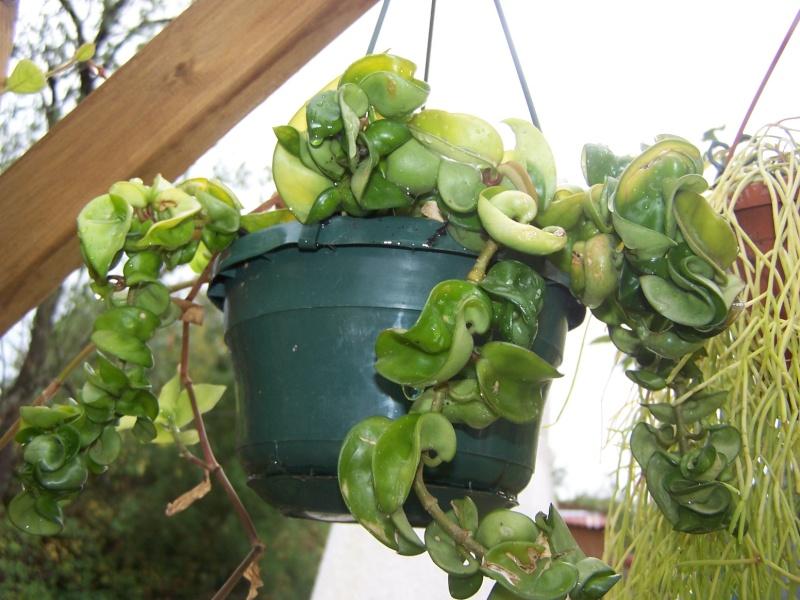 Quelques succulentes Hoya_c11