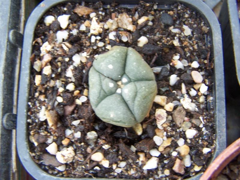Quelques succulentes Lophop10