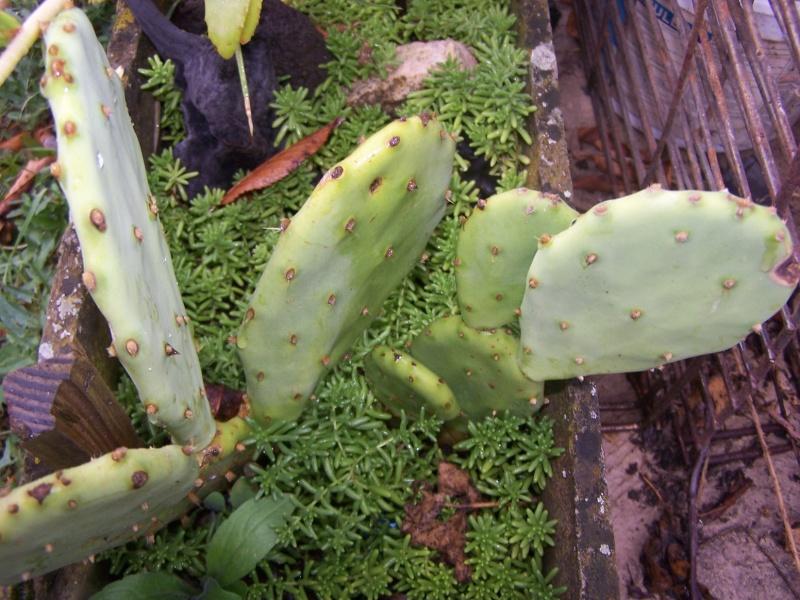 Quelques succulentes Opunti10