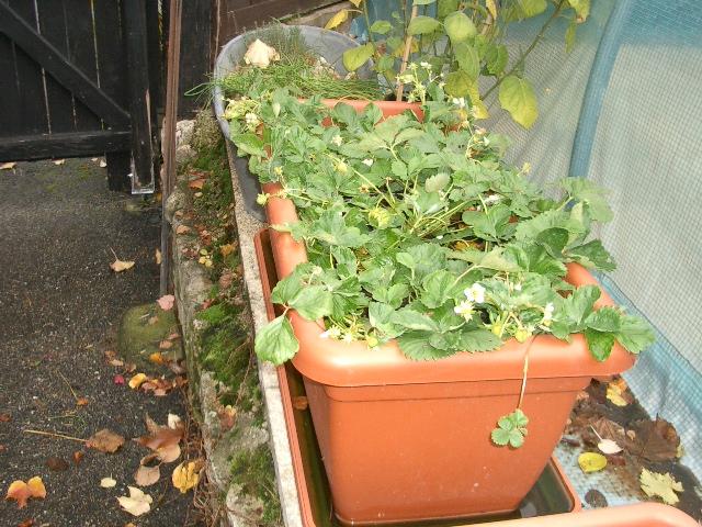fraises et tomates Fraise11