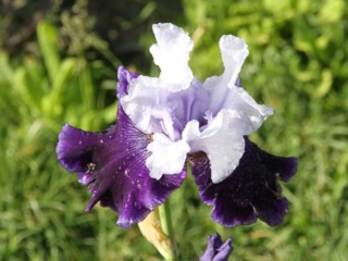 Iris amoena azur marine - Lilou [Identification en cours] Bordur10