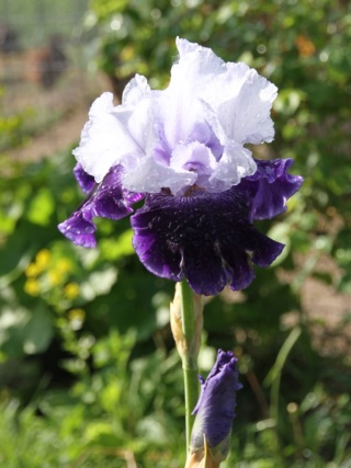 Iris amoena azur marine - Lilou [Identification en cours] Bordur14