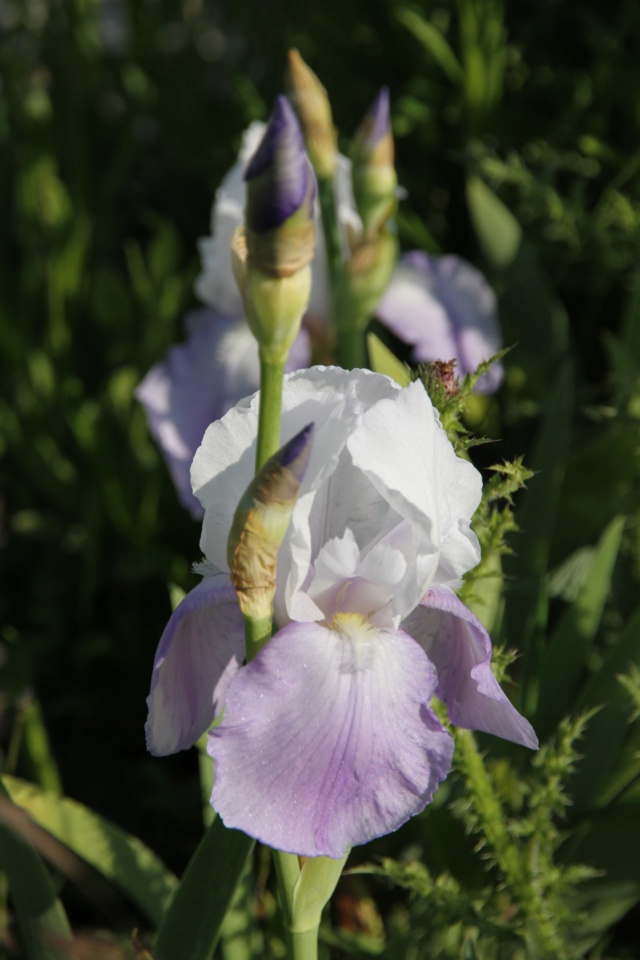 Iris amoena mauve - Lilou [identification en cours] Eli_5011
