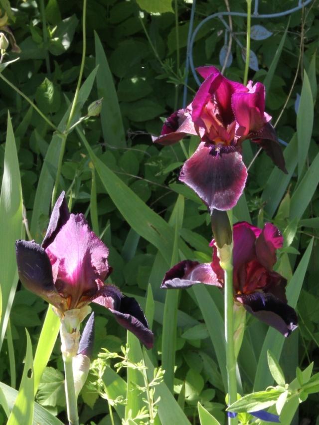Iris bitone sombre bourgogne - Lilou [identification en cours] Eli_6711