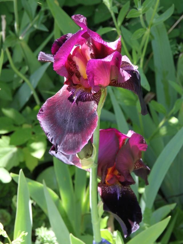 Iris bitone sombre bourgogne - Lilou [identification en cours] Eli_6712