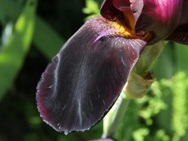 Iris bitone sombre bourgogne - Lilou [identification en cours] Eli_6716