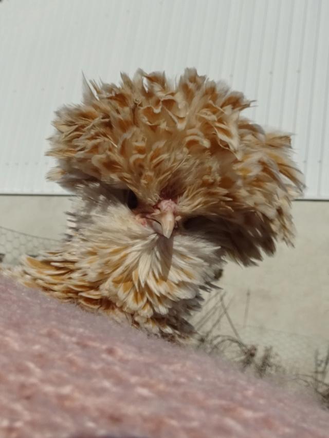 Poule rock Fluffy10