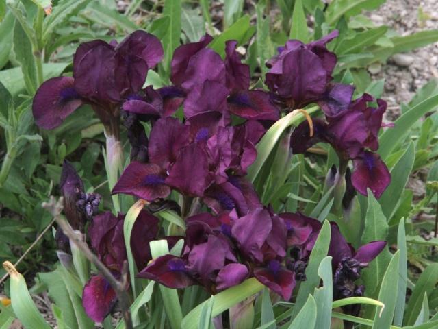 Iris 'Cherry Garden' - Bennett Jones 1966 Garenn10