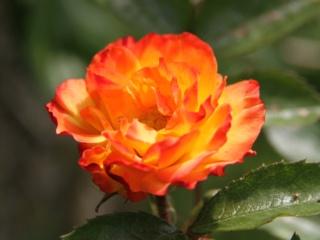 tous ces rosiers que l'on aime - floraisons - Page 6 Hangar11