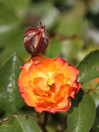 tous ces rosiers que l'on aime - floraisons - Page 6 Hangar12