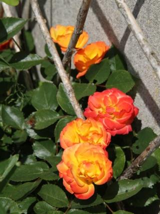 tous ces rosiers que l'on aime - floraisons - Page 6 Hangar13