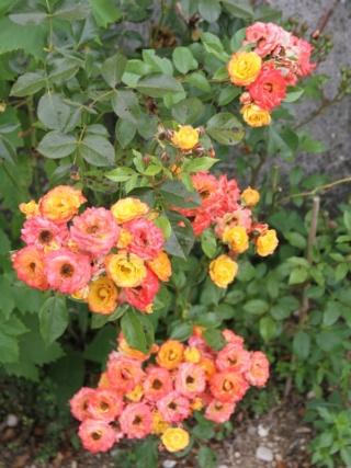 tous ces rosiers que l'on aime - floraisons - Page 6 Hangar14