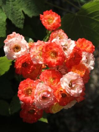 tous ces rosiers que l'on aime - floraisons - Page 6 Hangar15